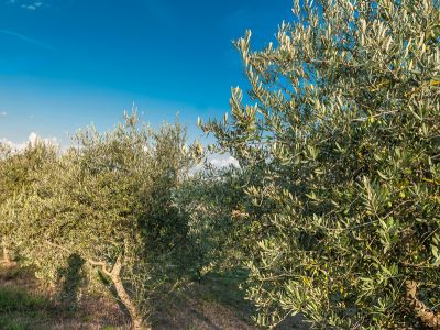 Adopt an Olive Tree from Relais Paradiso